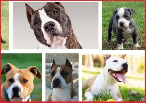 Pitbull: American Staffordshire Terrier