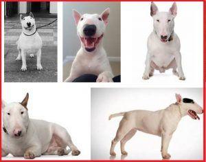 Pitbull - Bull terrier