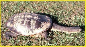 Tortugas Chelidae