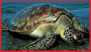 Tortugas Cheloniidae