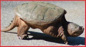 Tortugas Chelydridae