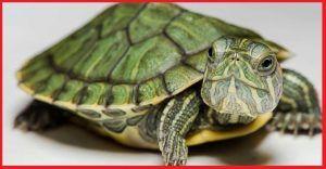 Tortugas Dermatemydidae