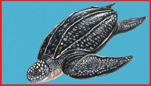 Tortugas Dermochelyidae