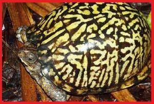 Tortugas Emydidae