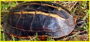 Tortugas Geoemydidae