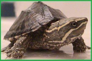 Tortugas Kinosternidae