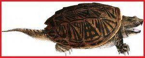 Tortugas Platysternidae