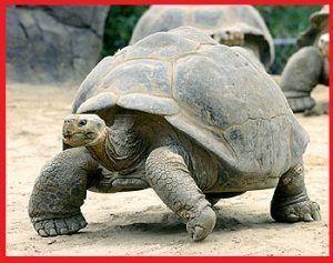 Tortugas Testudinidae