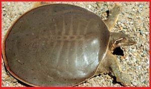 Tortugas Trionychidae